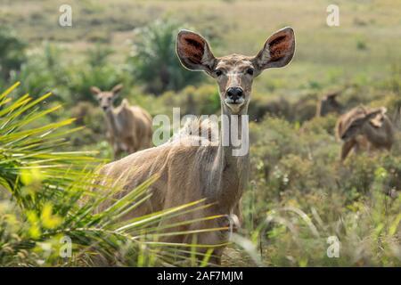 Los jóvenes y las mujeres los kudu navegando en un grupo familiar en el parque de los humedales Simangaliso, SA.