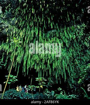 Una visita guiada por el viaje en barco por el río Wailua en el helecho Gruta es uno de los más populares de las excursiones turísticas en la isla de Kauai en Hawaii, EEUU. El destino es una caverna de rocas de lava que características largo verde kupukupu helechos cuelgan desde arriba. Actualmente el helecho pantalla no es tan impresionante como en esta fotografía de 1980, porque muchas de las largas plantas fueron arrancados de la gruta rocosa durante el huracán Iniki en 1992. Además, las intensas lluvias en 2006 causó rocas y plantas para caer desde el techo de la gruta. A diferencia de los turistas se ha visto aquí, los visitantes no están permitidas en el interior de la gruta por razones de seguridad