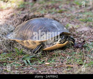 Cerca de la tortuga en la vista de perfil en la pasto verde cavando un agujero para incubar los huevos en su entorno y el medio ambiente.