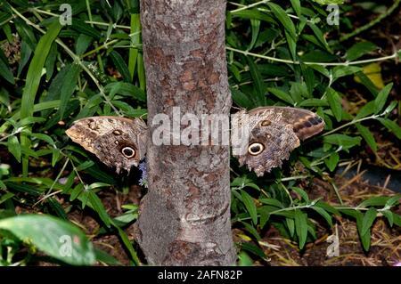 Saint Paul, Minnesota. Jardín de Mariposas. Un par de mariposas Búho gigante común ' Caligo eurilochus' en el lado de un árbol. Nativa de América del Sur.