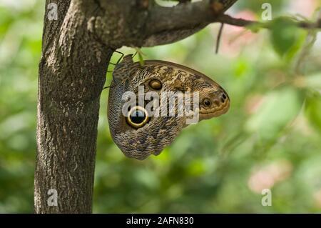 Saint Paul, Minnesota. Jardín de Mariposas. La mariposa búho gigante común; ' Caligo eurilochus' en la cara de un árbol. Nativa de América del Sur.