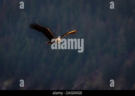 Aguila Calva cazando en la noche