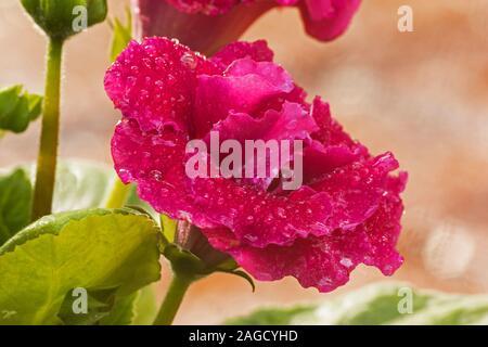 Gloxinia planta en flor