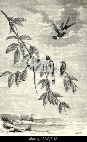 Ornitología: Cría y nidos: el brillante-tailed woodstar (Tilmatura dupontii), aka el espumoso-tailed Hummingbird, es una especie de colibrí en la familia Trochilidae encontrados en América Central. Las hembras tienden a anidar en la misma ubicación, especialmente si previamente exitosos, anidando en el mismo árbol o arbusto año tras año. El nido está normalmente en un limbo horizontal, ocasionalmente en plantas herbáceas, a menudo por encima o cerca de un arroyo y compuesto de líquenes, hojas, corteza triturada, fibras vegetales, forrado con la planta de abajo en el envés de las hojas o la araña de seda.
