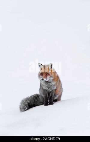 El zorro rojo (Vulpes vulpes) sentados en la nieve en invierno