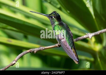 Los Talamanca hummingbird o colibrí magnífico (Eugenes spectabilis) es un colibrí grande sólo se encuentra en Costa Rica y partes de Panamá.