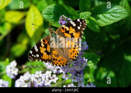 Un Painted Lady butterfly (Vanessa cardui)