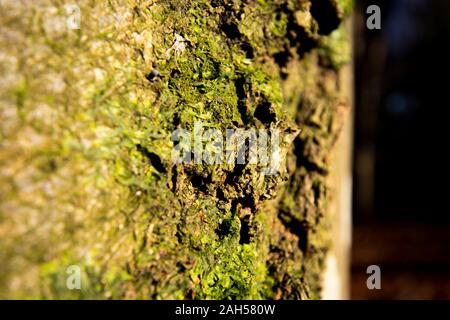 Xanthoria parietina foliosa liquen, un organismo compuesto que surge de las algas o las cianobacterias viven entre filamentos de varios hongos