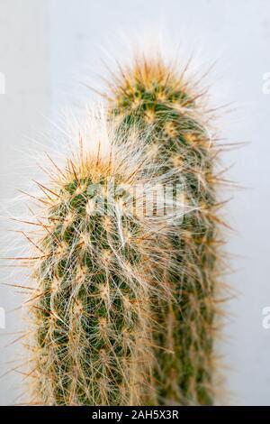 Espostoa lanata (viejo hombre peruano Cactus) Foto de stock