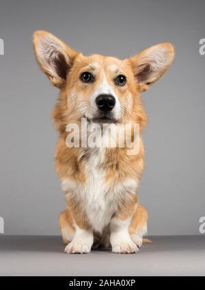 Pembroke Welsh Corgi cachorro a los 7 meses de edad, mujer, Reino Unido.
