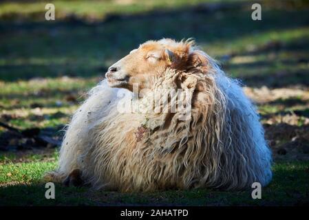 Ovejas descansando en el suelo (Ovis aries)