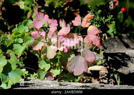 Campanas de coral o Alumroot Heuchera o planta herbácea perenne siempreverde con palmately lobulados luz verde a morado oscuro hojas de largos peciolos Foto de stock
