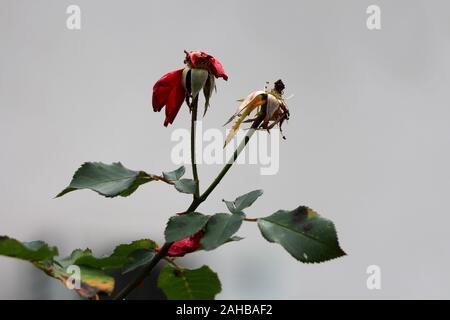 Dos capas de color rojo oscuro con rosas completamente seco shriveled parcialmente pétalos caidos crecen en tallos llenos thorn rodeado con hojas de color verde oscuro
