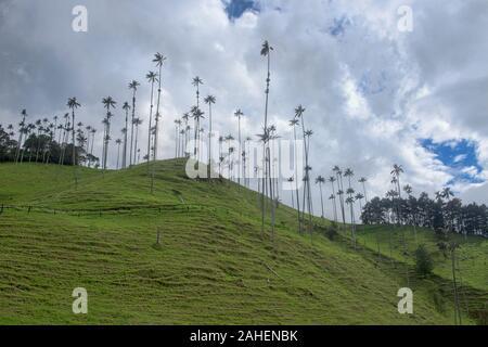 Palmas de cera (Ceroxylon quindiuense) en las palmas, el más alto del mundo, el Valle de Cocora, Salento, Colombia