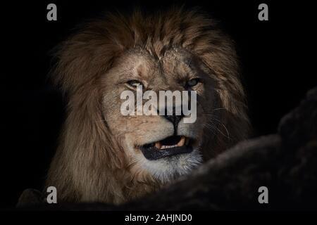 Retrato de un león rugiente aislado sobre un fondo negro Foto de stock