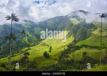 Palmas de cera (Ceroxylon quindiuense) en el verde Valle de Cocora, Salento, Colombia