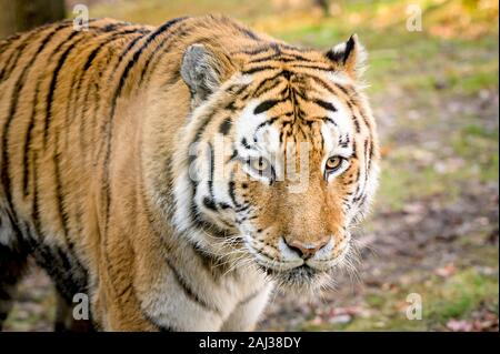 Un MAJESTUOSO tigre de Bengala en su hábitat natural