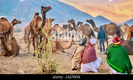 Pushkar, India - Nov 20, 2015. Los comerciantes del camello viendo un rebaño de camellos en un desierto el campamento en la Feria de camellos de Pushkar en Rajasthan, India.