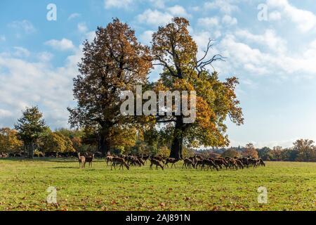 Manada de ciervo rojo (Cervus elaphus) en Windsor Great Park, Windsor, Berkshire, Inglaterra, Reino Unido