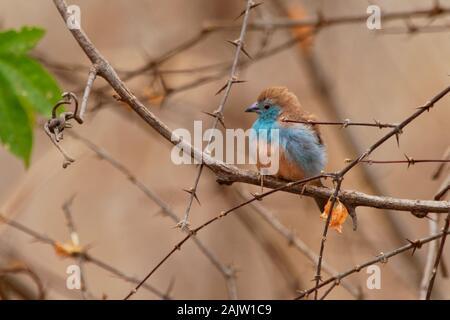 Cordonbleu Waxbill azul o meridional - Uraeginthus angolensis también conocido como azul-breasted, azul-cheeked waxbill o Angola cordon-bleu, especie de est
