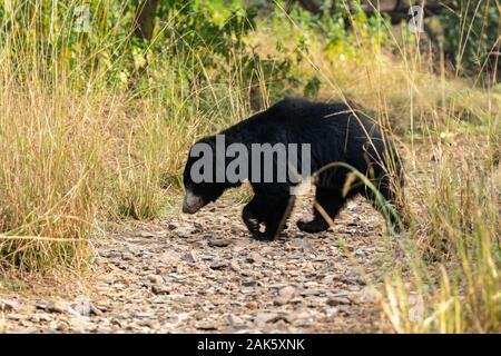 Gran Oso perezoso Melursus ursinus especies vulnerables o encuentro en hábitat natural durante el safari de la selva. Escena con peligro de vida silvestre animal.