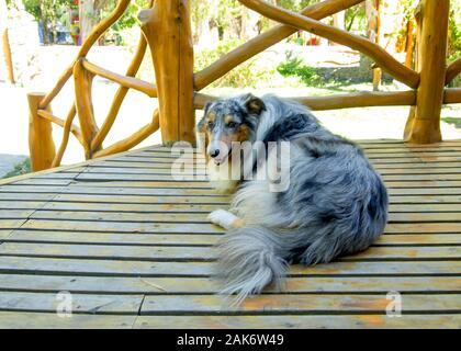Tres patas Rough Collie perro acostado en el piso de madera. Concepto de Pet.