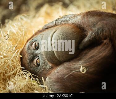 Retrato de una hembra orangután (Pongo pygmaeus) tumbado sobre un montón de paja