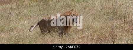 Un joven león rugiendo en la sabana, en la reserva de Serengeti en Tanzania Foto de stock