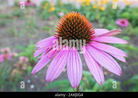 Captura detallada de sola purple coneflower, Echinacea purpurea Foto de stock