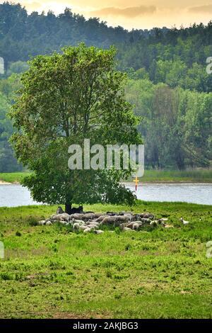 Un rebaño de ovejas descansando junto con dos burros bajo un solo árbol a orillas del río Elba en Baja Sajonia, Alemania.