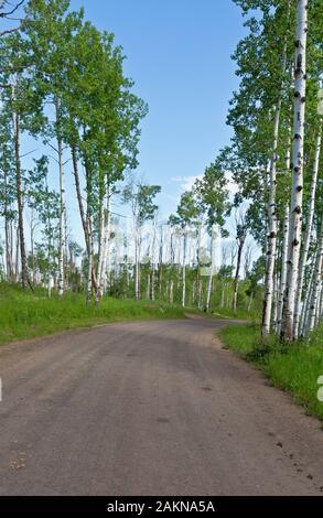 CO00206-00...Colorado - Aspen árboles que bordean por la carretera 129 en la sección alternativa Columbine de la gran brecha de ruta en bicicleta de montaña.