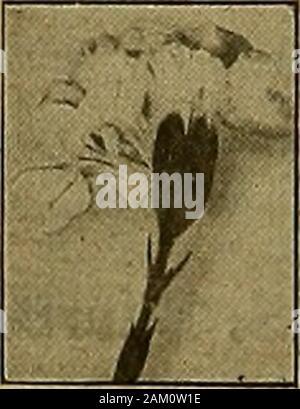 La florería americana : una revista semanal para el comercio . Foto de stock