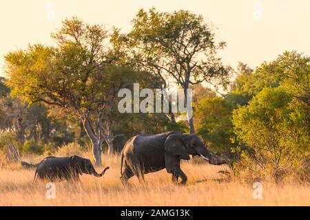 Elefante Africano, Loxodonta Africana, Macatoo, Okavango Delta, Botswana Foto de stock