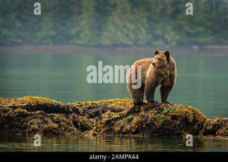 El oso Grizzly foraging en mejillones a lo largo de la línea de marea baja en Knight Inlet, First Nations Territory, British Columbia, Canadá.