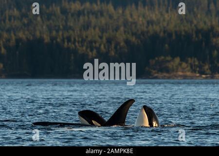 Cápsula de ballena asesina residente en el norte con dos espías en el estrecho de Johnstone, Territorio De Las Primeras Naciones, Isla de Vancouver, Columbia Británica, Canadá.