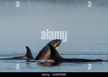 Orcinus orca, orcinus orca, residente en el norte de los países de la región, juega en el estrecho de Johnstone en una mañana de niebla, Territorio De Las Primeras Naciones, Columbia Británica, Cana