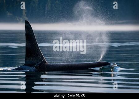 A66 - Surf - Familia: A22's. Ballena asesina masculina residente en el norte (Orcinus orca), estrecho de Johnstone en la isla de Vancouver, Columbia Británica, Canadá.