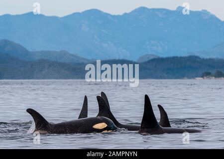 A30's, orcas residentes en el norte de I35s (Orcinus orca) en el estrecho de Queen Charlotte cerca del Archipiélago de Broughton, Territorio De Las Primeras Naciones, Brit