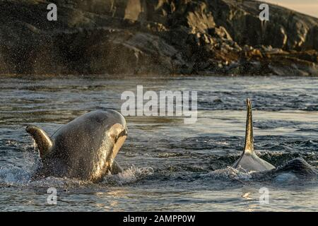 A118 y A54, orcicas residentes en el norte, Orcinus orca poco después del amanecer en el estrecho de Johnstone, Territorio De Las Primeras Naciones, Columbia Británica, Cana