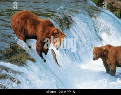 Pesca de osos pardos costeros de Alaska en el Parque Nacional Katmai, Alaska, Estados Unidos