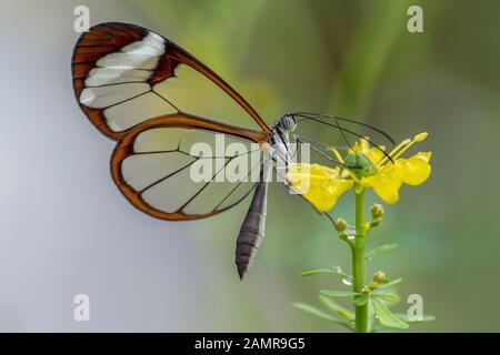Hermosa Mariposa Glasswing (Greta oto) en un jardín de verano en una flor amarilla. En el Amazona, selva tropical en América del Sur. Presious butterf Tropical