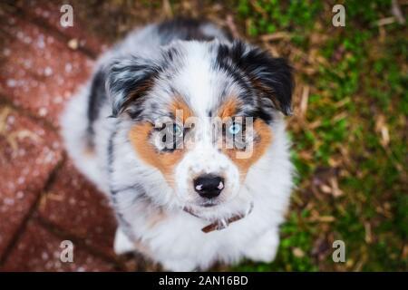 Vista superior abstracta oa un hermoso perrito viejo de 8 semanas. El enfoque selectivo en el rostro del cachorro Pastor Australiano. Él tiene un ojo azul y otro marrón.