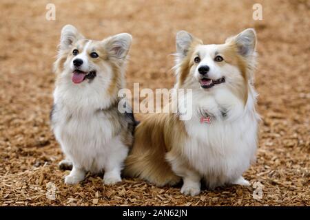 Dos entrenados Pembroke Welsh Corgi hembras cachorros
