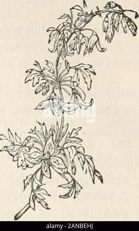 Árboles y arbustos; una versión abreviada del Arboretum et fruticetum britannicum: contiene los árboles y arbustos resistentes de Gran Bretaña, nativos y extranjeros, científicamente y popularmente descrito; con su propagación, cultivo y usos y grabados de casi todas las especies . 21. C. anguslif cirrh6sa61ia. Clematis cirrh6sapedicelliita.