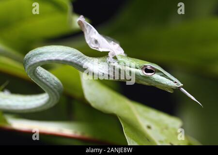 Cerca de la Serpiente (vid asiáticos Ahaetulla prasina) derramamiento es la piel.