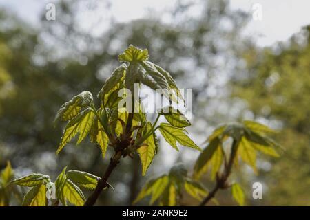 Sicomoro (Acer pseudoplatanus) apertura de yemas: Las hojas jóvenes en diversas etapas de apertura en primavera en una rama de un árbol