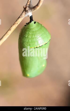 Pupas de la mariposa monarca Danaus plexippus colgando de una ramita