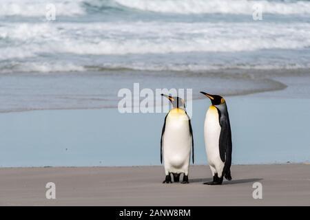Par de Pingüinos rey, aptenodytes patagonicus, sobre la playa, en el cuello, la Isla Saunders, Islas Malvinas, Territorio británico de ultramar
