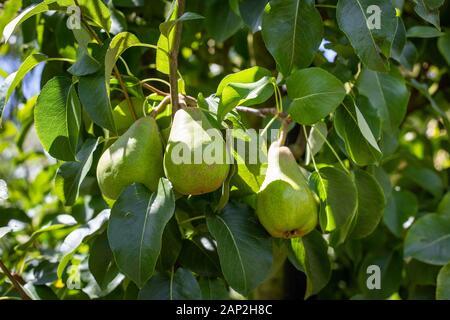 Una variedad de pera, Decana du Comice, crece en un árbol de frutas saludables en verano, Christchurch, Nueva Zelanda