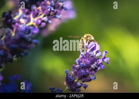 La polinización de la abeja en una flor de lavanda. Macro Fotografía. Cerca.